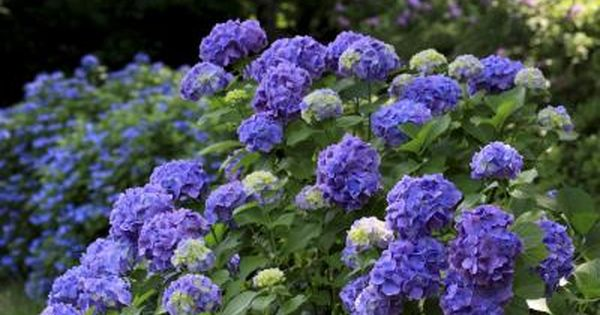 Where To Plant Hydrangeas In South Carolina Planting Hydrangeas When To Prune Hydrangeas Fall Garden Vegetables