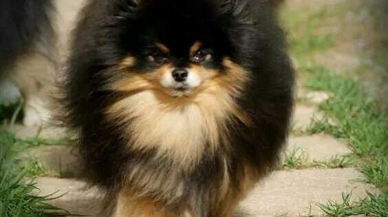 A black and tan beauty and she /he knows it! | Pomeranians ...