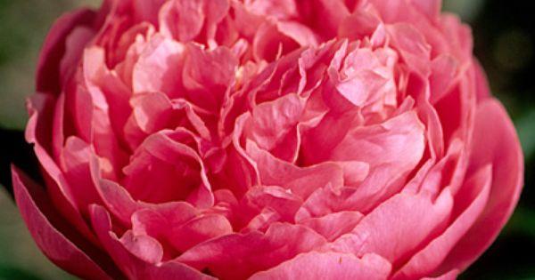 Klehm S Song Sparrow Farm And Nursery Peony Pink Hawaiian Coral Coral Peonies Peonies Peonies Garden