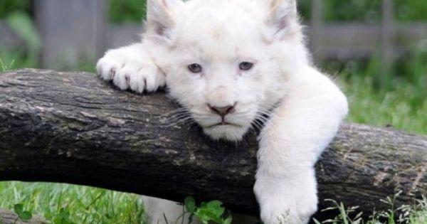 Trois Bebes Lions Blancs Effectuent Leur Premiere Sortie Bebe Lions Lion Blanc Animaux Beaux