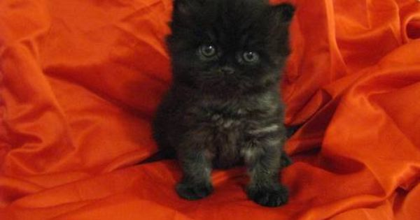 3 Adorable Cfa Registered Persian Kittens 6 Weeks Old Persian Kittens Kittens Cats And Kittens
