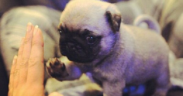 High five, baby pug! Your so cute