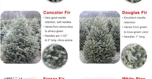 Traditional Christmas scent very similar to a Balsam Fir fragrance. The smell most people associate with Christmas. Best: Beautiful shape and appearance. Similar to the Fraser, but with the smell of a Balsam; the best of both trees. Excellent needle retention, soft to .