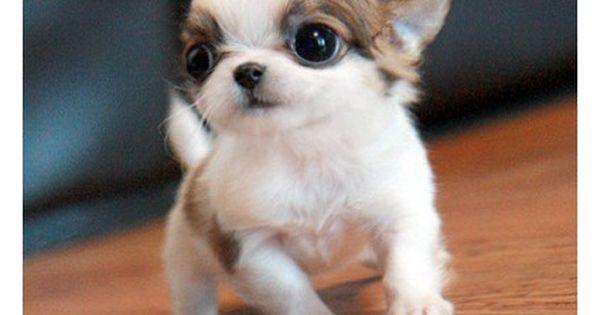 Apple Head Chihuahua Cuccioli Di Animale Cuccioli Di Cani
