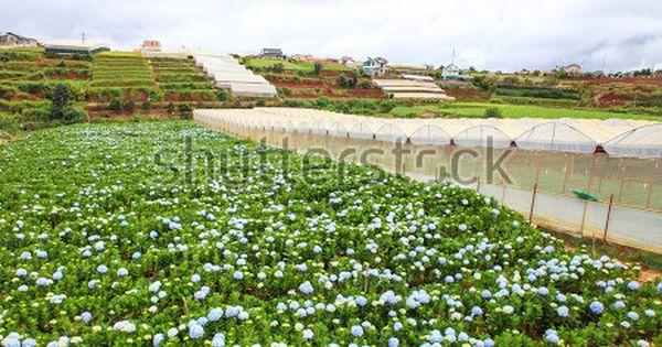 Dalat 26 October 2017 Hydrangea Flowers Are Blooming In All Dalat S Garden Hydrangea Flower Hydrangea Flowers