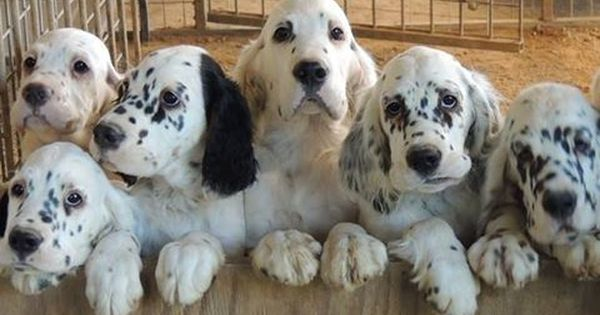 English Setters Pups R Scott Hundefotos Hunde Fotos Tiere