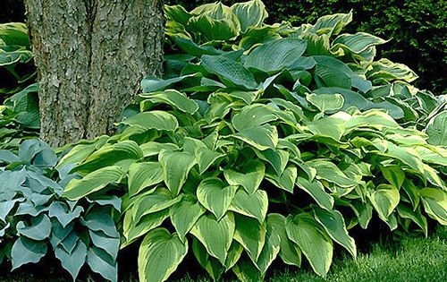 Hosta - Popular shade plant. Cannot go wrong with any selection. I NEED these!!