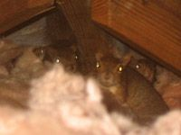 How To Get Squirrels Out Of Your Attic House Or Walls Squirrel Baby Squirrel Get Rid Of Squirrels