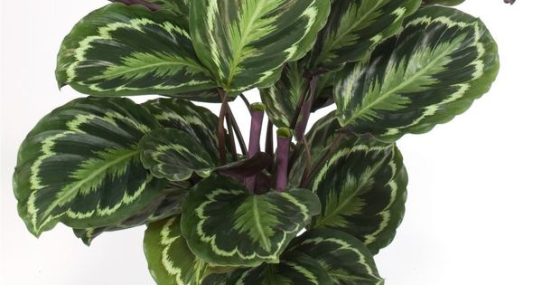 calathea roseopicta 39 medallion 39 aka prayer plant cat