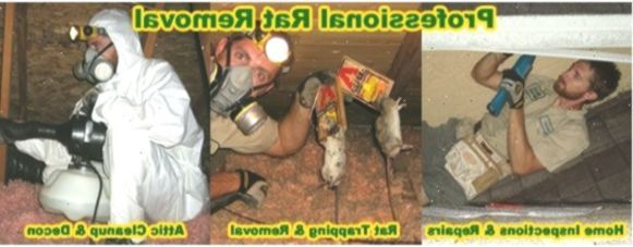 Rat Removal From House Attic Ceiling Wall Building Rodent Control Roden Rat Removal From House Attic Ceiling Wall Building Rodent Control Ro In 2020