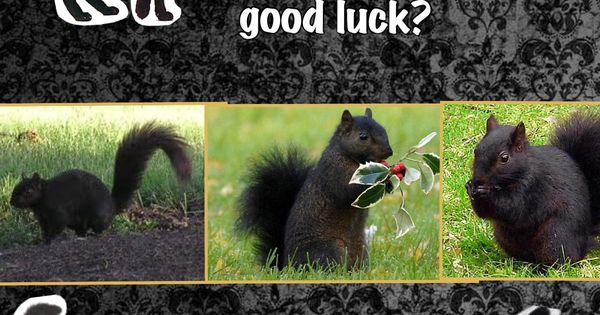 superstition Black cat Black Squirrel Good luck Bad luck ...