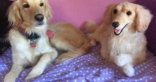 Scout And His Cuddle Clone Cuddling Golden Retriever Cute Pictures