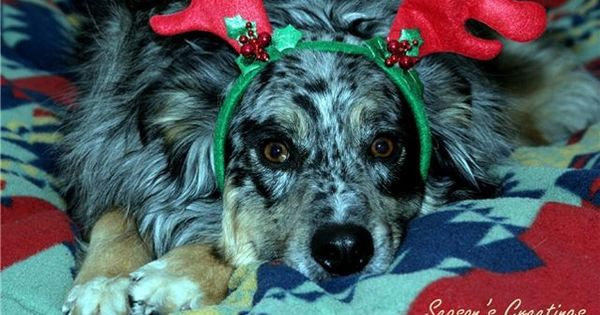 Tis The Season To Get You Next Puppy We Have Several New Puppies To Choose From That Are Very Nice Quali Toy Australian Shepherd New Puppy Australian Shepherd
