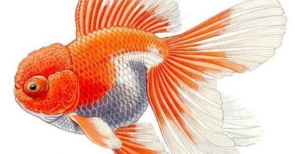 Telescope Oranda The Goldfish Council Goldfish Art Goldfish Fish Painting