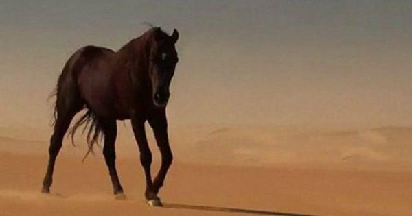Le Prince Du Desert Cheval Animaux Equitation