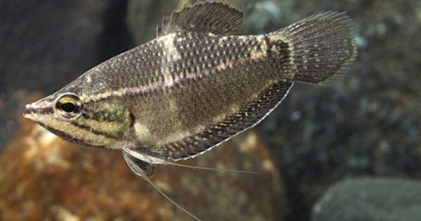 Vaillanti Chocolate Gourami Reg Sphaerichthys Vaillanti Fresh Water Fish Tank Aquarium Fish Fish Tank