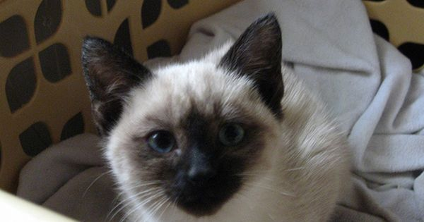 Adopt A Pair Of Kittens Violet The Seal Point Siamese Desmond The Black Domestic Long Hair Seal Point Siamese Ragamuffin Cat Siamese