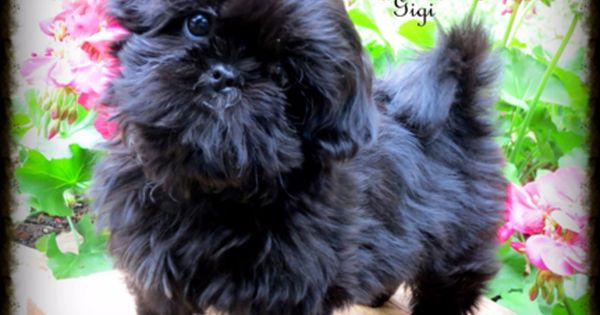 Gorgeous Akc Liver Chocolate Shih Tzu Puppies For Sale With