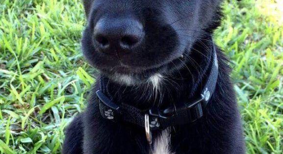 Aussiedor Black Puppy Labradorretriever Black Dogs Breeds