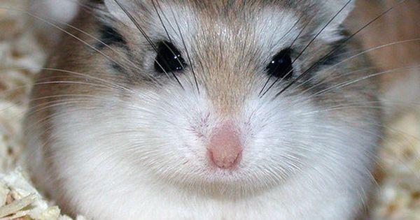 The Gray Dwarf Hamster Or Grey Hamster Or Migratory Hamster