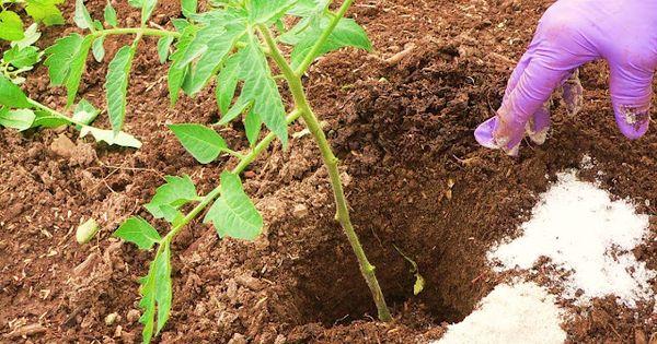 Pest deterrent herbs