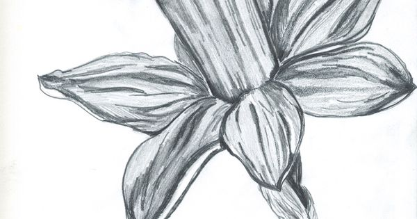 Daffodil Pencil Drawing Anything And Everything