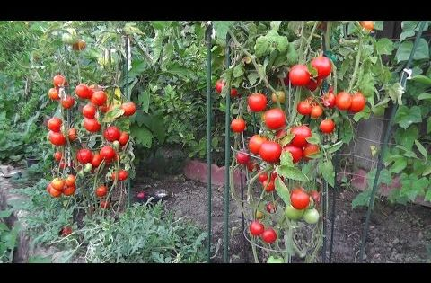 How To Get Huge Tomato Plants Easy Cheap Tomato 400 x 300