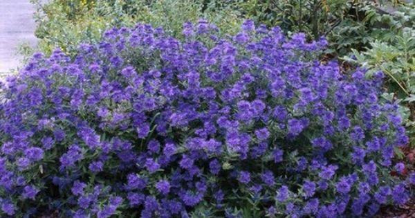 Ficus Carica Blauer Spatz Bradavec K9 Low Maintenance Shrubs