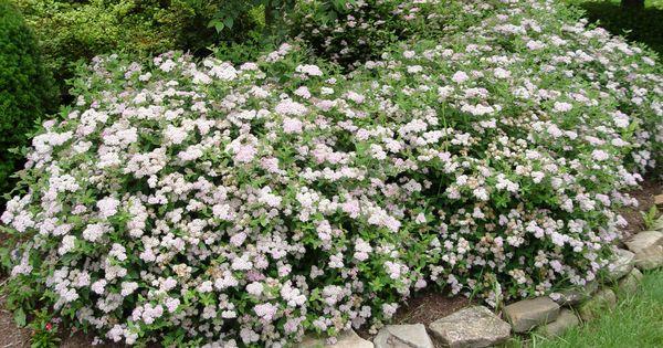 Little princess spirea very low maintenance hardy for Hardy low maintenance shrubs