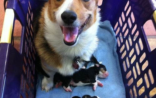 Corgi looks very proud of her new puppies.