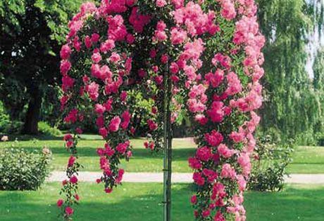 Weeping China Doll Rose Tree So Beautiful Just Look At