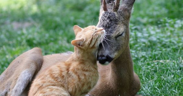 Ginger Cat and Baby Deer Become Best Friends - lovemeow.com