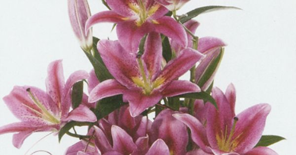 Presented in a narrow triangular styling, this grand gathering of Oriental Lilies