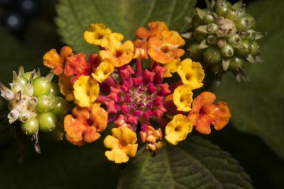 Deadheading Lantana Plants Removing Spent Blooms On Lantana Lantana Plant Lantana Plants