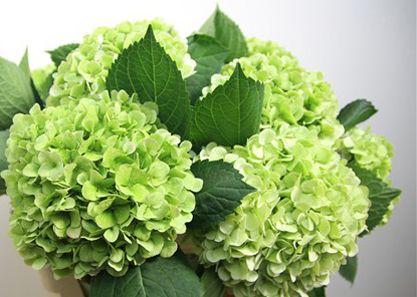 Hydrangeas Inexpensive Flower Green Hydrangea Hydrangea Bridal Bouquet Hydrangea