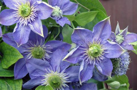 clematis blue light 39 s seed pod is gorgeous in itself. Black Bedroom Furniture Sets. Home Design Ideas