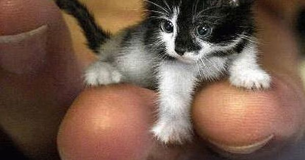 micro chat plus c 39 est petit plus c 39 est mignon kisekatter pinterest katter kattungar. Black Bedroom Furniture Sets. Home Design Ideas