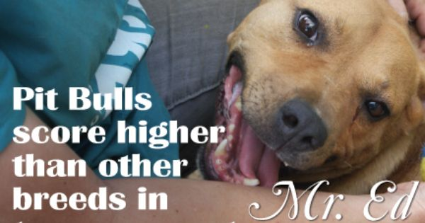 Pit Bulls Score Higher Than Other Breeds In Temperament Pit Bulls