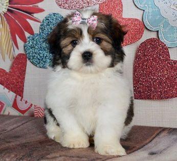 Litter Of Zuchon Puppies For Sale In Warsaw In Usa Adn 113755