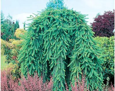 7 28 Gallon Weeping Norway Spruce Feature Tree In Pot With Soil