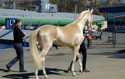 Palomino Akhal Teke The Akhal-Teke is a horse breed from Turkmenistan. Only