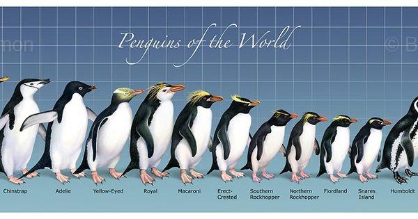 Penguin Size Comparison Science Pinterest Penguins