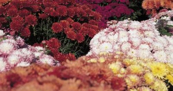 How To Care For Fall Mum Plants In Containers Garden Mum Potted Mums Fall Mums