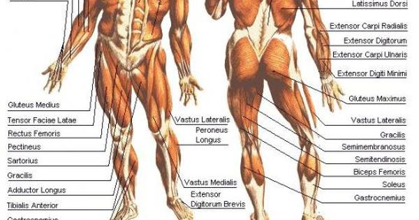human muscular system diagram labeled | cosmetology school, Muscles