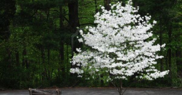 Pin By Bori Braam On White As Snow With Images Trees For Front Yard Trees To Plant White Flowering Trees