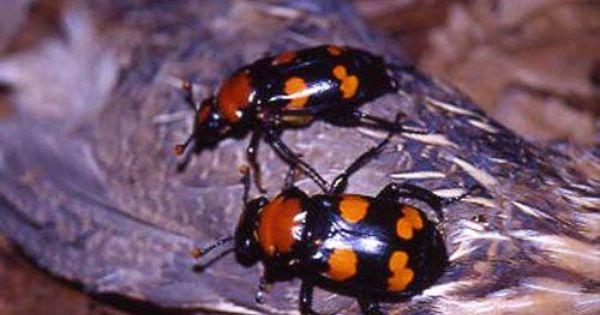 Saint Louis Zoo Is Reintroducing American Burying Beetles In