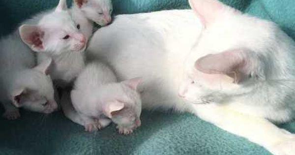 Junge Schneeweisse Siamkatzchen 18426622 Animals Cats