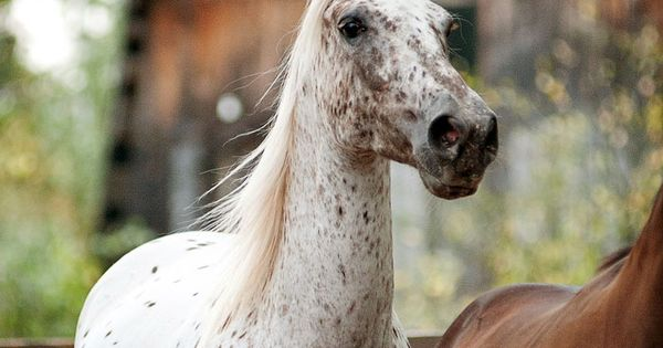 Appaloosa horse photo by Olga Itina