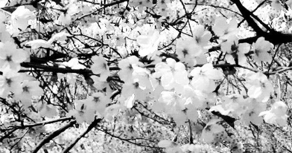 Astrorum Cherry Blossom In Seoul X Com Imagens Preto E