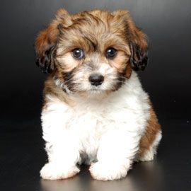Moxie Maltese Doxie New Breeds Justpuppies Net Designer Dogs